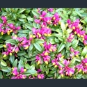 Picture for category Polygala chamaebuxus