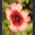 Picture for category Potentilla