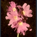 Picture for category Primula Armerina section
