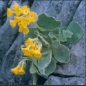 Picture for category Primula Auriculastrum section (auricula)
