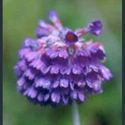 Picture for category Primula Capitatae section