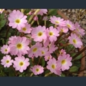 Picture for category Primula Oreophlomis section