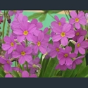 Picture for category Primula Parryi section