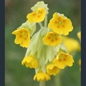 Picture for category Primula Primula section (Vernales)
