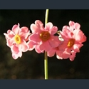 Picture for category Primula Proliferae section (candelabra)