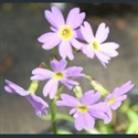 Picture for category Primula Pulchella section