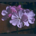 Picture for category Primula sieboldii varieties