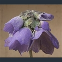 Picture for category Primula Soldanelloides section