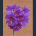 Picture for category Primula Yunnanensis section