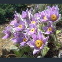 Picture for category Pulsatilla