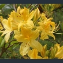 Picture for category Rhododendron - azaleas