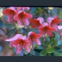 Picture for category Rhododendron - dwarf varieties