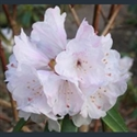 Picture for category Rhododendron - large varieties