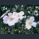 Picture for category Roses - species