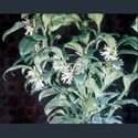 Picture for category Sarcococca