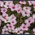 Picture for category Saxifraga - kabschia varieties