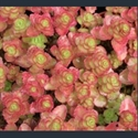 Picture for category Sedum - small varieties