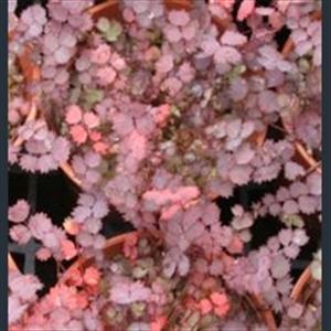 Picture of Acaena inermis 'Purpurea'