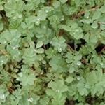 Picture of Acaena magellanica
