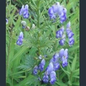 Picture of Aconitum x cammarum 'Bicolor'