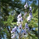 Picture of Aconitum piepunense