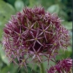 Picture of Allium cristophii