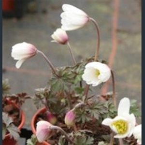 Picture of Anemone blanda 'White Splendour'
