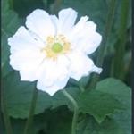 Picture of Anemone x hybrida 'Honorine Jobert'