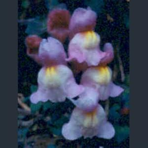 Picture of Antirrhinum molle