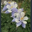 Picture of Aquilegia coerulea