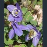 Picture of Aquilegia flabellata var. pumila