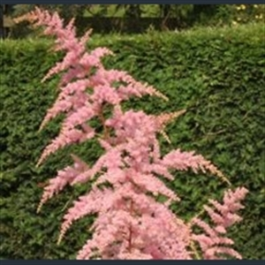 Picture of Astilbe x arendsii 'Bressingham Beauty'