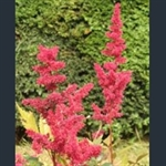 Picture of Astilbe x arendsii 'Fanal'