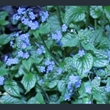 Picture of Brunnera macrophylla 'Jack Frost'