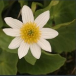 Picture of Caltha leptosepala