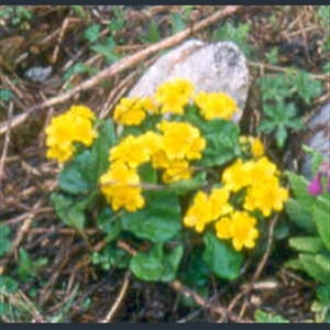 Picture of Caltha scaposa