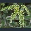 Picture of Chiastophyllum oppositifolium 'Jim's Pride'