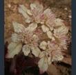 Picture of Chrysosplenium macrophyllum