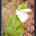 Picture of Cypripedium Ulla Silkens grex
