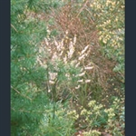 Picture of Daphne mezereum f. alba