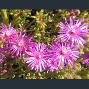 Picture of Delosperma 'John Proffitt'