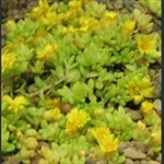 Picture of Delosperma nubigenum