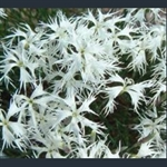 Picture of Dianthus arenarius