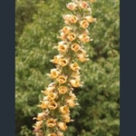 Picture of Digitalis ferruginea