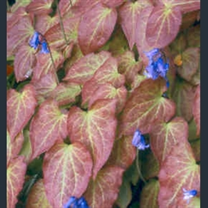 Picture of Epimedium x rubrum