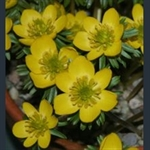 Picture of Eranthis hyemalis Cilicica Group