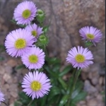Picture of Erigeron leiomerus