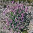 Picture of Erinus alpinus