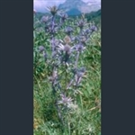 Picture of Eryngium bourgatii