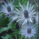 Picture of Eryngium x olivieranum